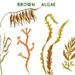 Cải thiện tone màu, bảo vệ và phục hồi da hư tổn với Fucoidan từ Tảo nâu